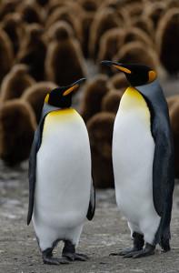 Adult and Juvenile King Penguins South Georgia Island