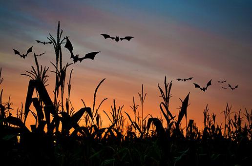 Bats in the Cornfield