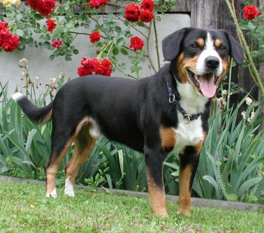 The Entlebucher
