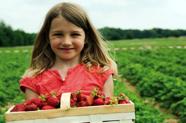 Strawberry Picking at Ridgeview Farms