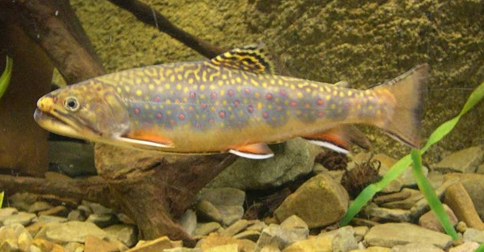 Native ohio brook trout thriving in geauga county geauga for Fish hatchery ohio
