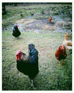 Free range chickens at The Indigo Egg