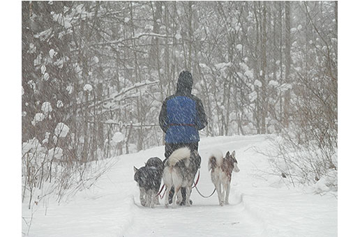 4 rescued huskies and their owner taking a stroll through the woods.
