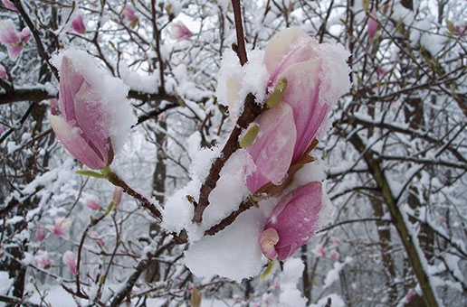 Magnolia tree in bloom covered in snow - Geauga News