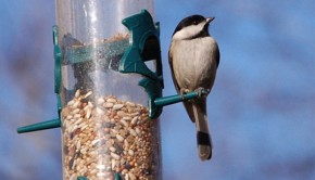 Chickadee eating from a tube feeder