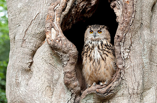 An owl in a tree cavity