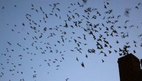 Flock of Chimney Swifts